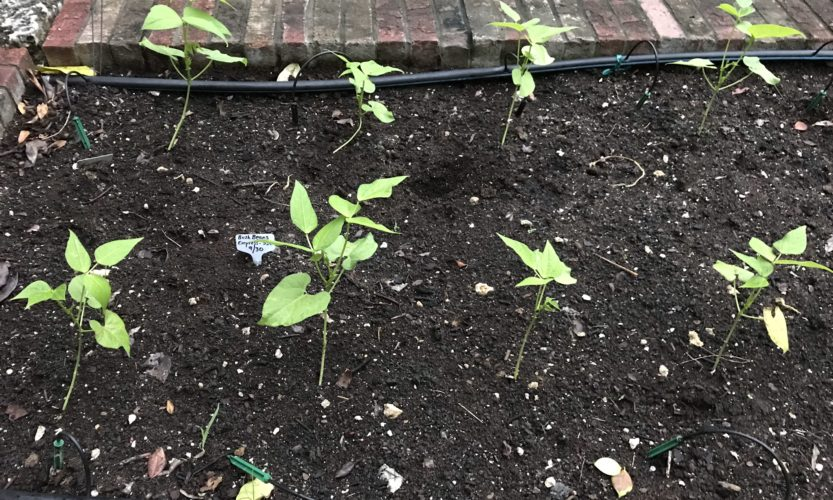 Green beans growing