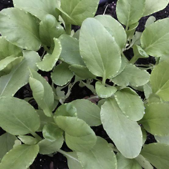 Crop of arugula