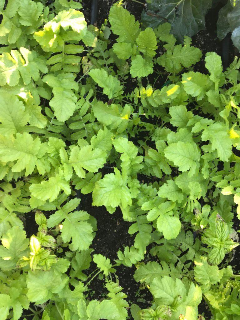 Daikon plants