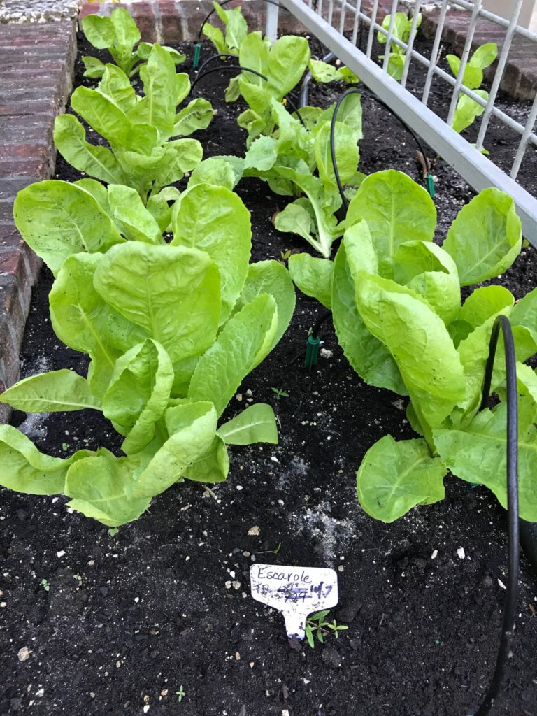 Escarole plants