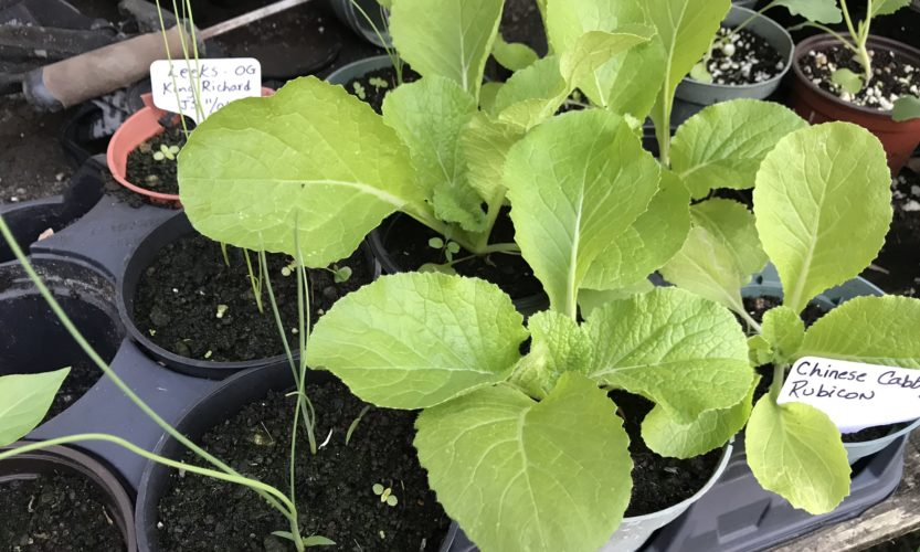 Chinese cabbage seedlings