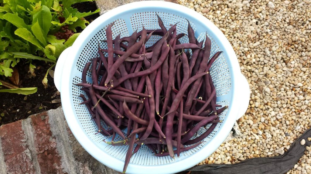 Basket of fresh purple bush beans