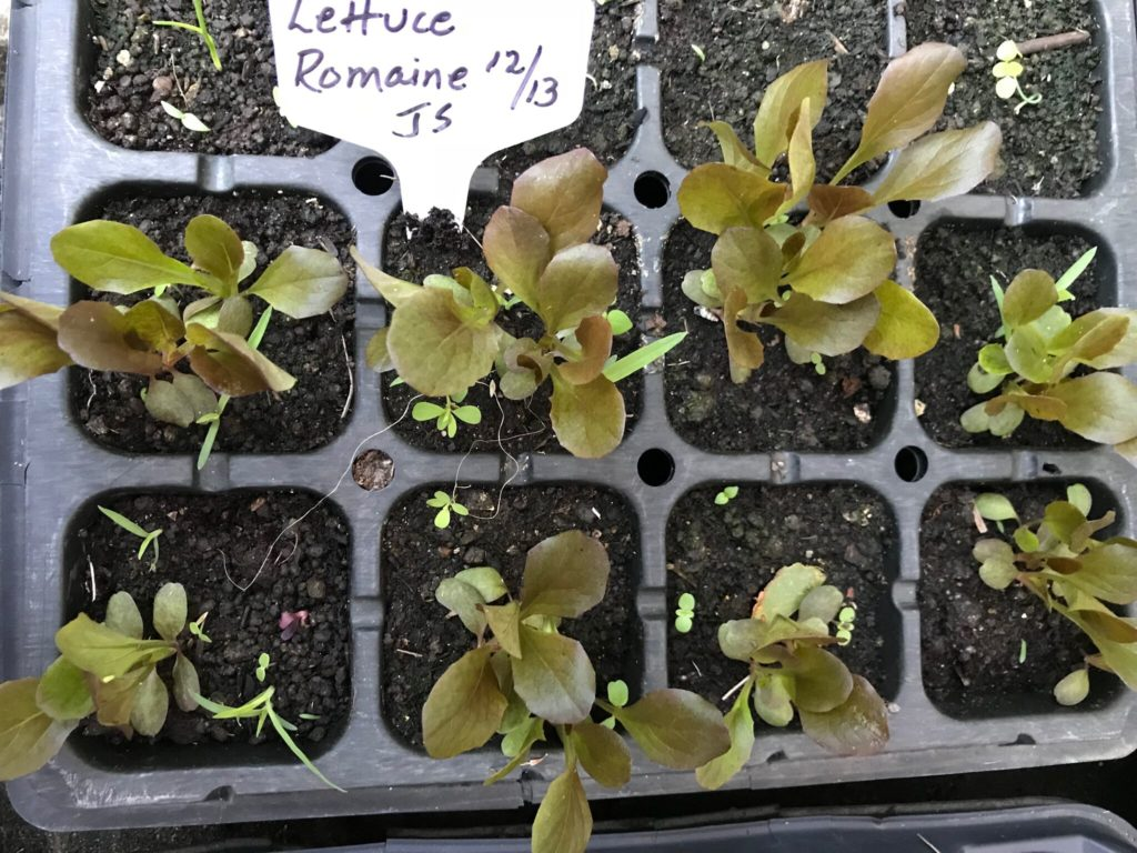 Red Romaine Lettuce Seedlings