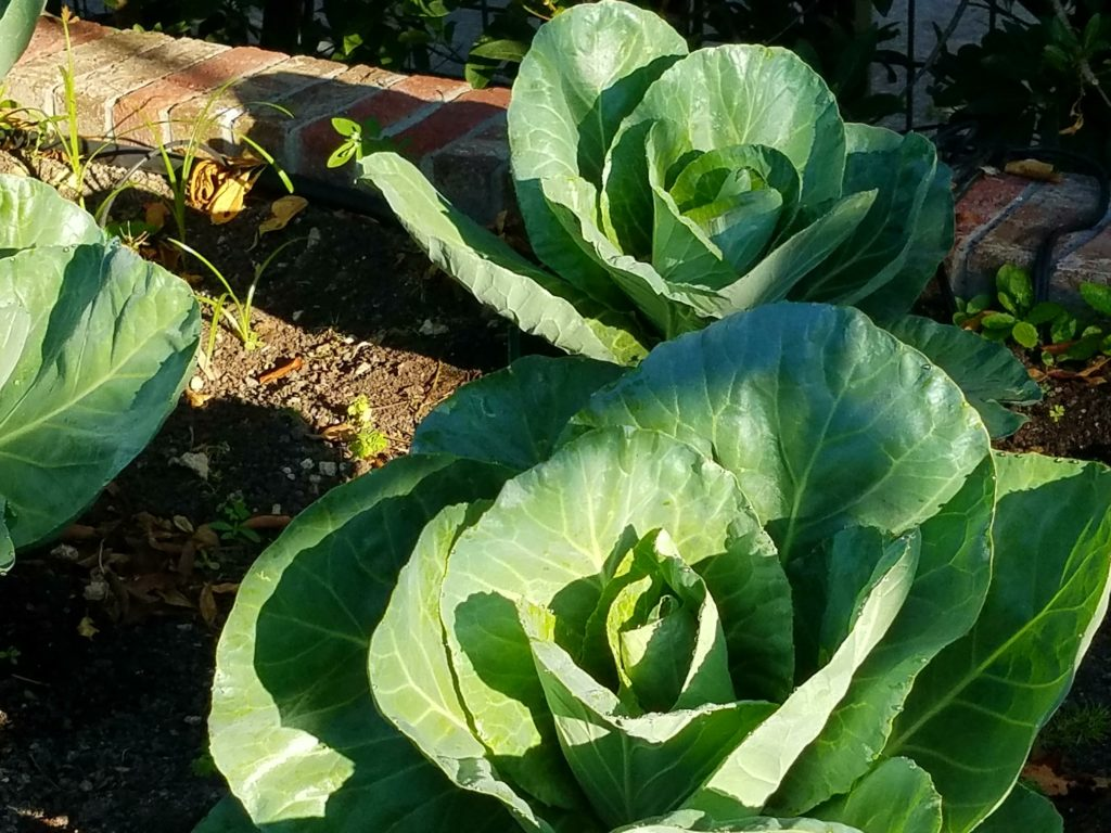 Cabbage plants in garden bed