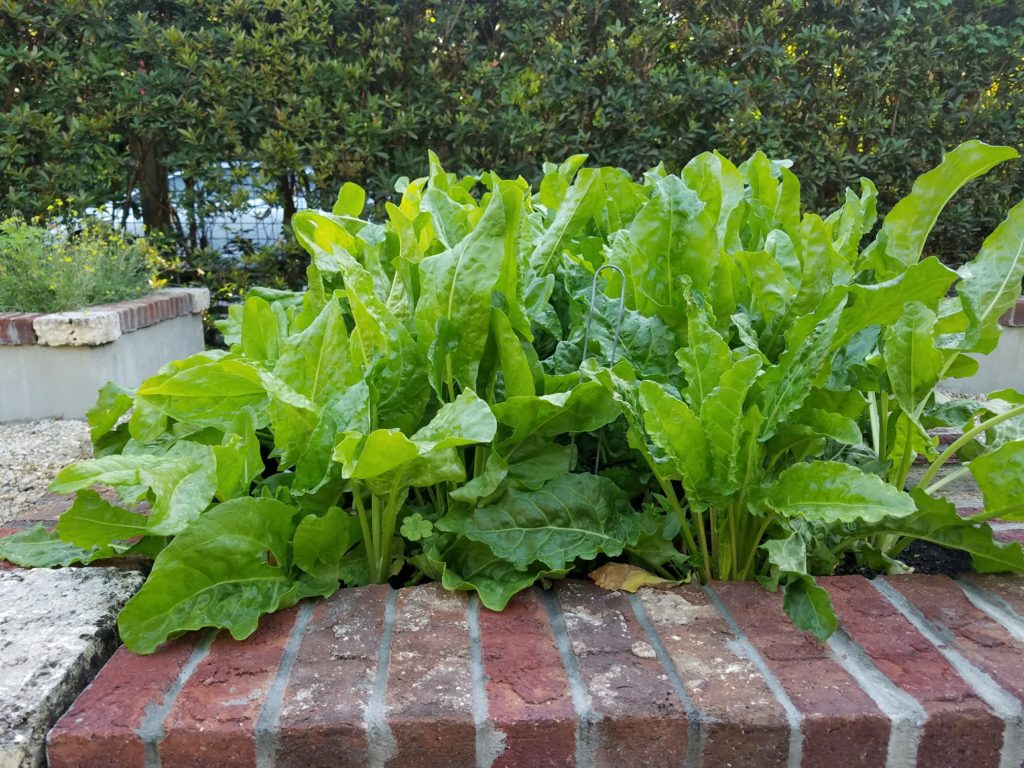 Crop of sorrel in a garden bed