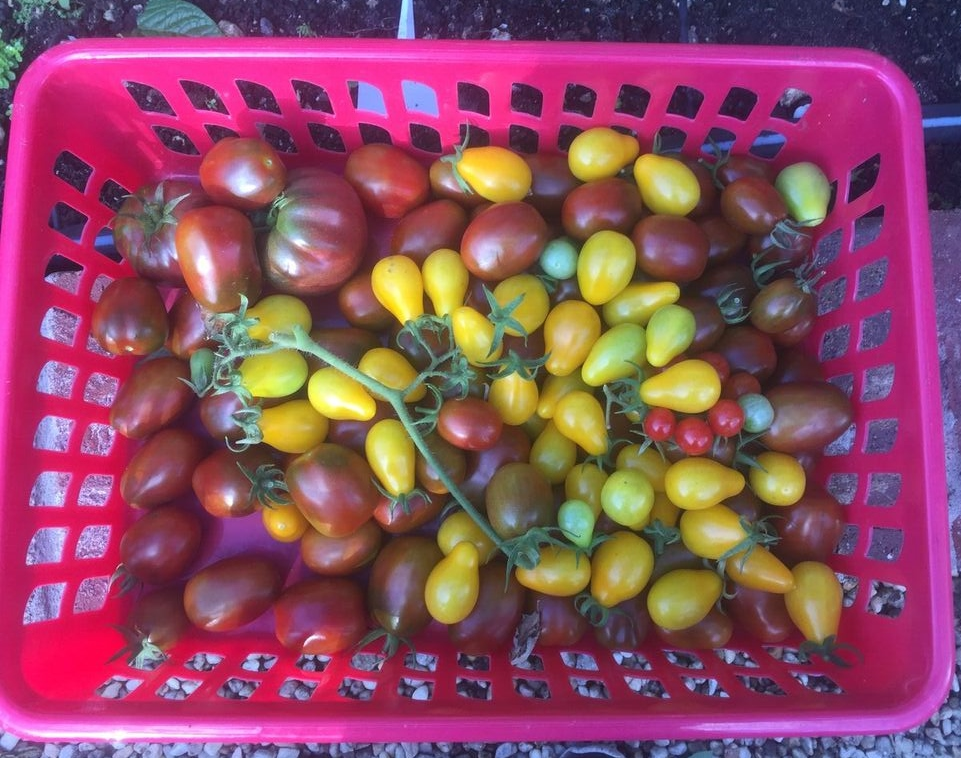 Assorted cherry tomatoes in basket