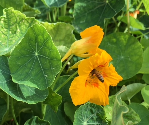 Nasturtiums visited by a bee