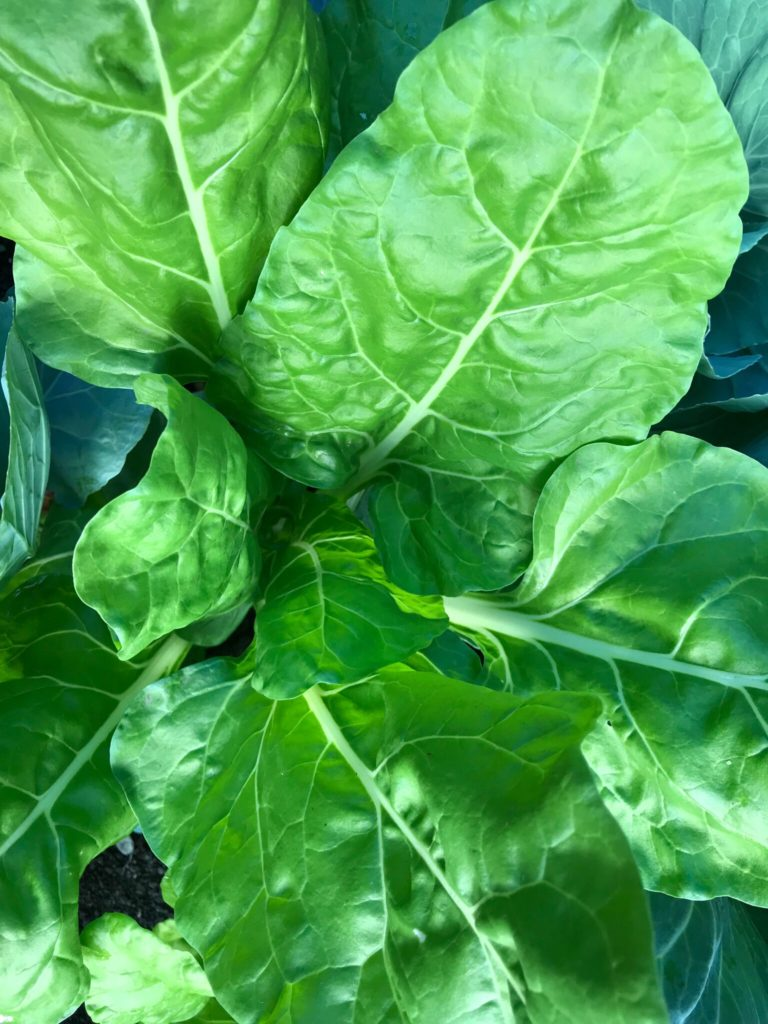 Green Swiss chard plant