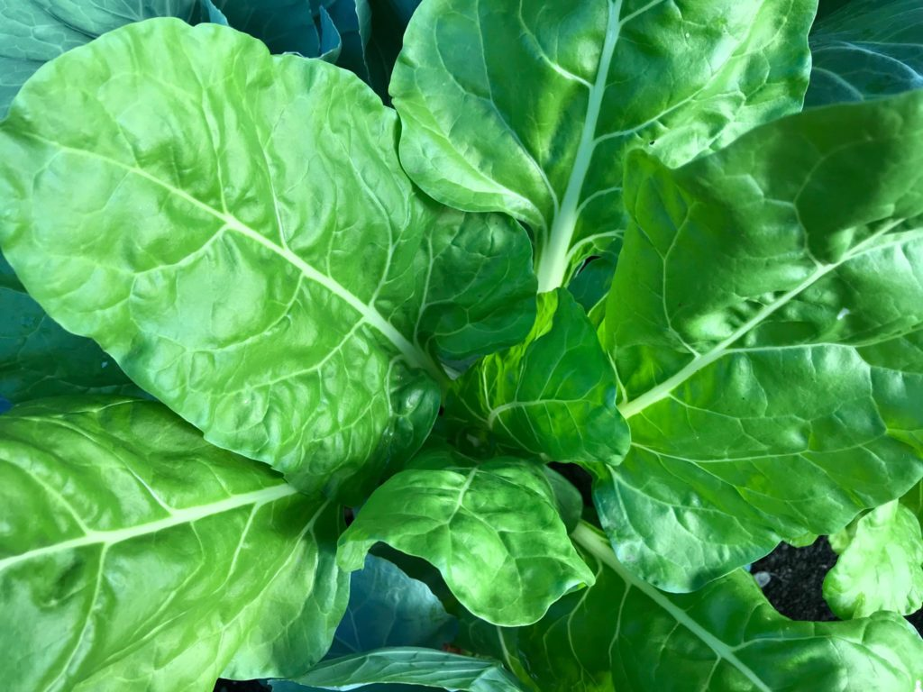 Green Swiss chard plant