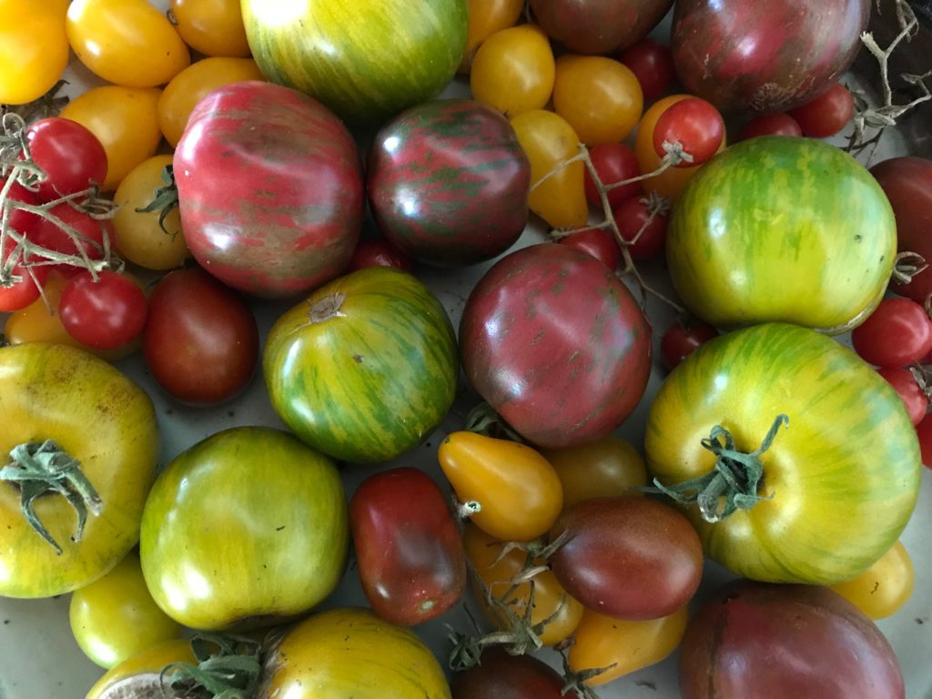 Green and red striped heirloom tomatoes