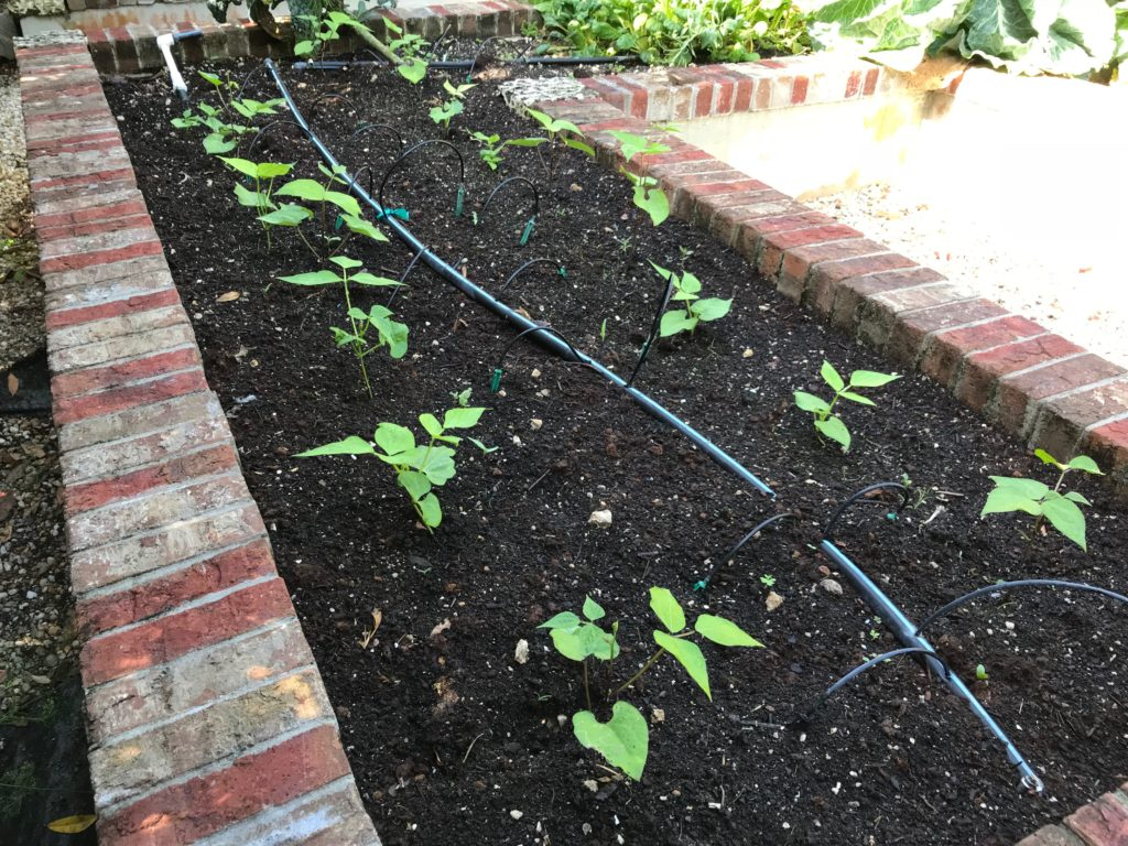 Two rows of young green bean plants