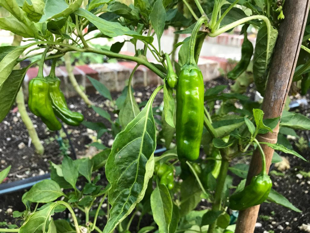 Shishito peppers on a bush