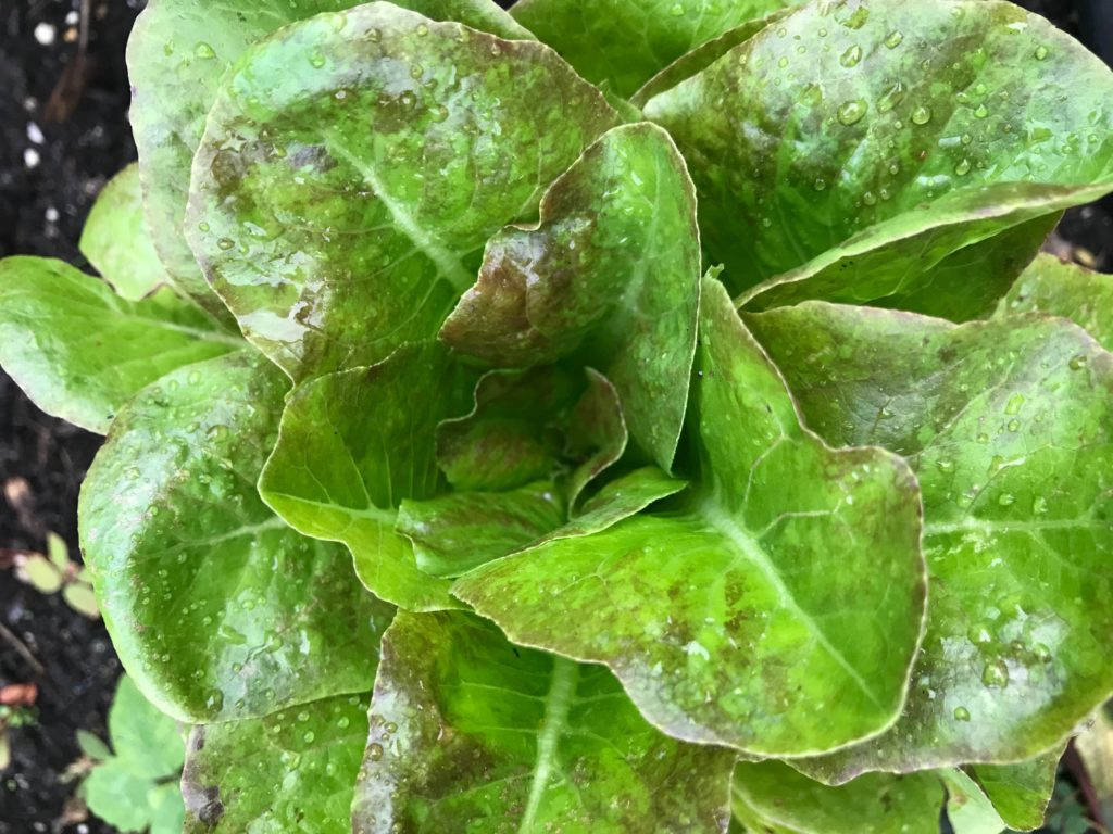 Head of butterhead lettuce