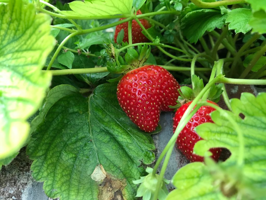 Ripe strawberries on a bush