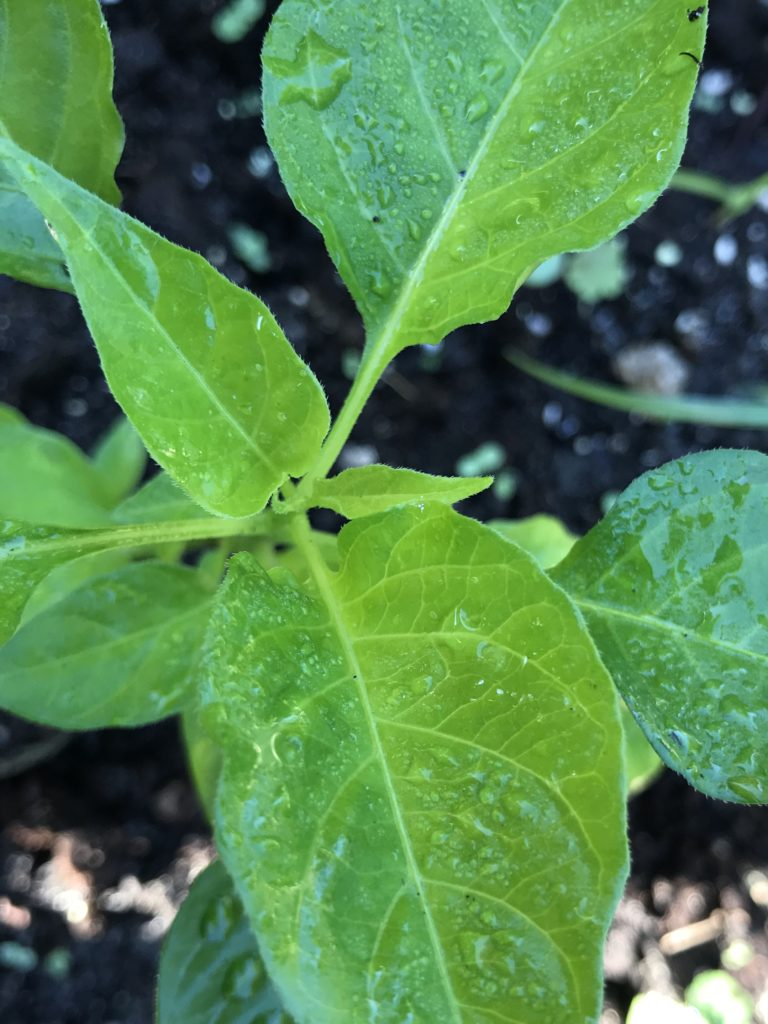 Pepper plant with morning dewdrops