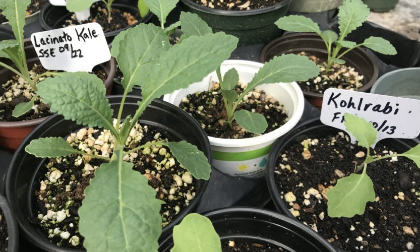 Young brassica family plants in pots