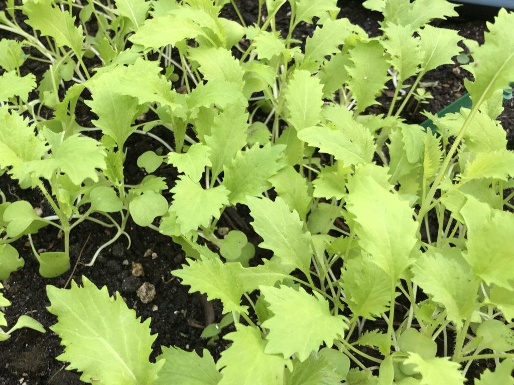 Young mizuna plants