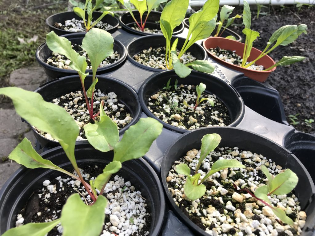 Beet seedlings in pots