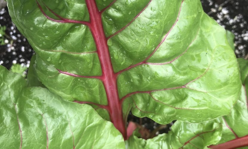 Leaves of Swiss chard plant