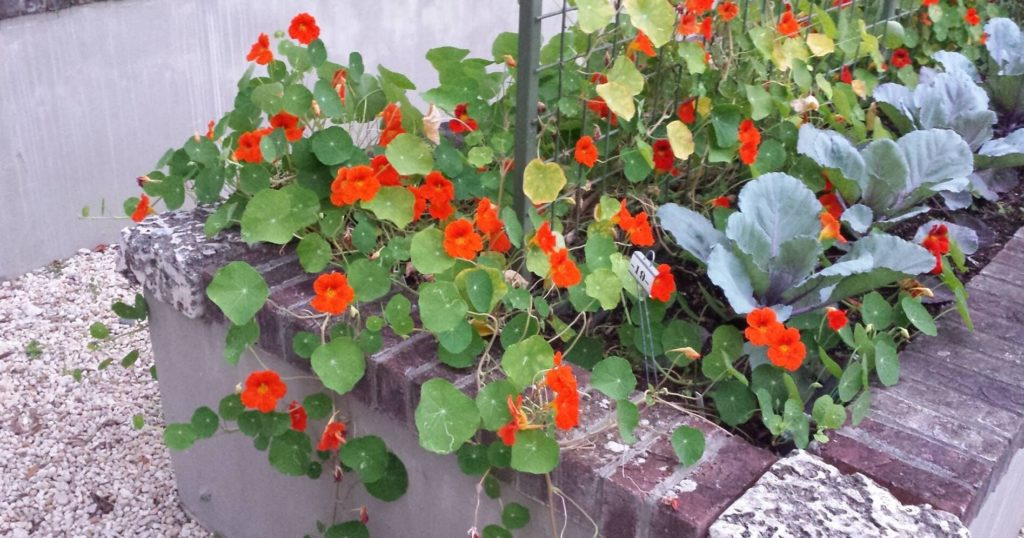 Orange nasturtium flowers in garden bed