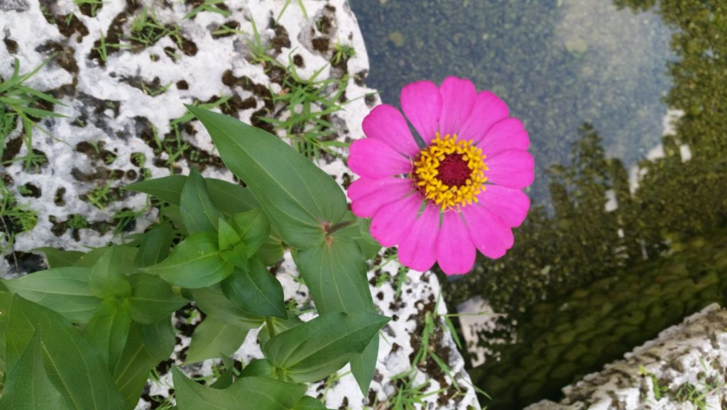 Pink zinnia flower over pond water