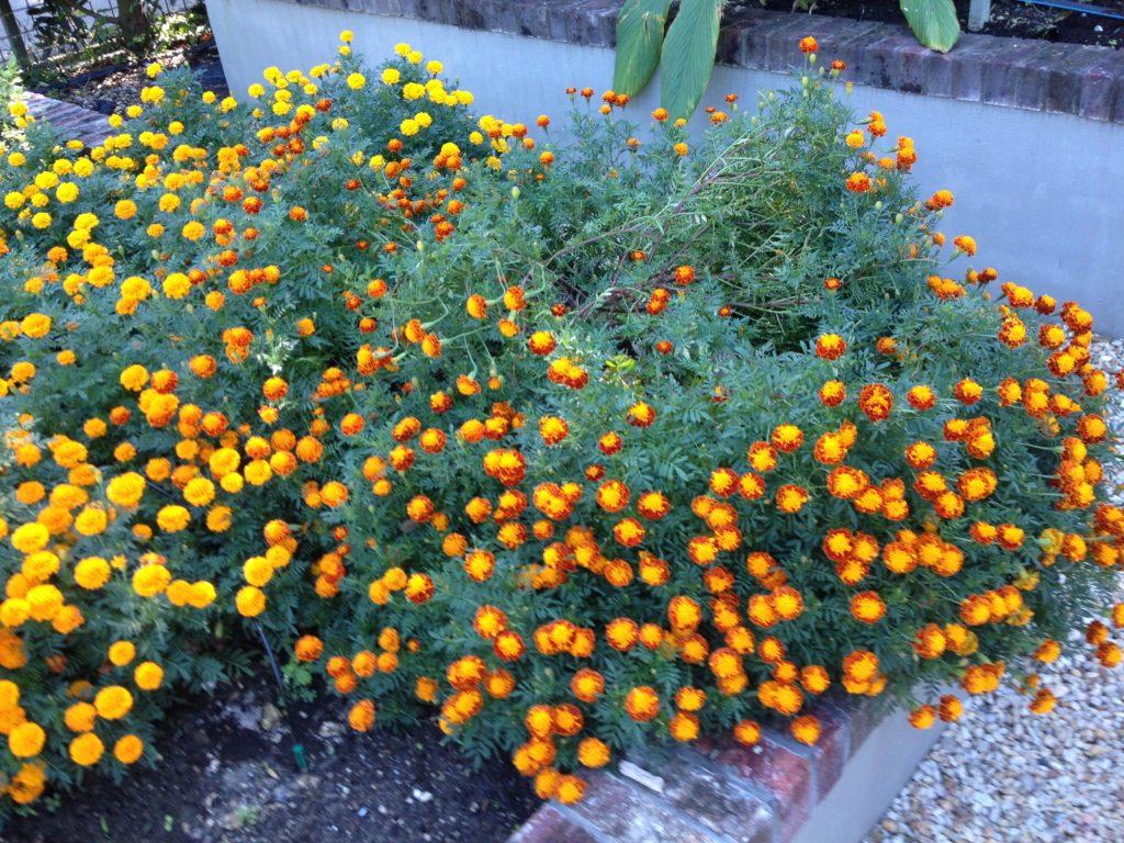 Yellow and orange-yellow variegated marigolds
