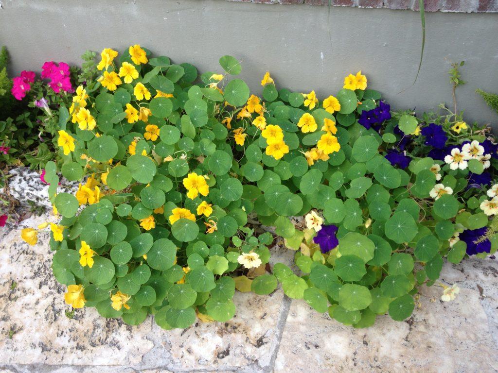 Brightly colored nasturtium flowers in garden border