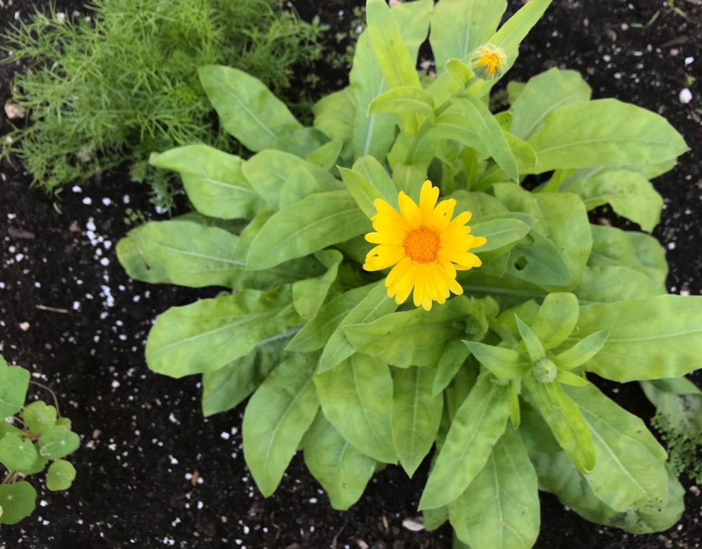 Calendula plant with one yellow bloom