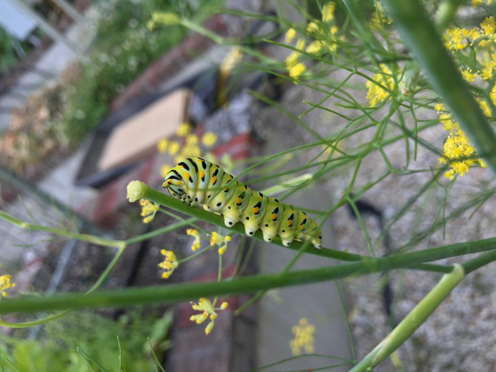 Black swallowtail butterfly caterpillar on a fennel branch