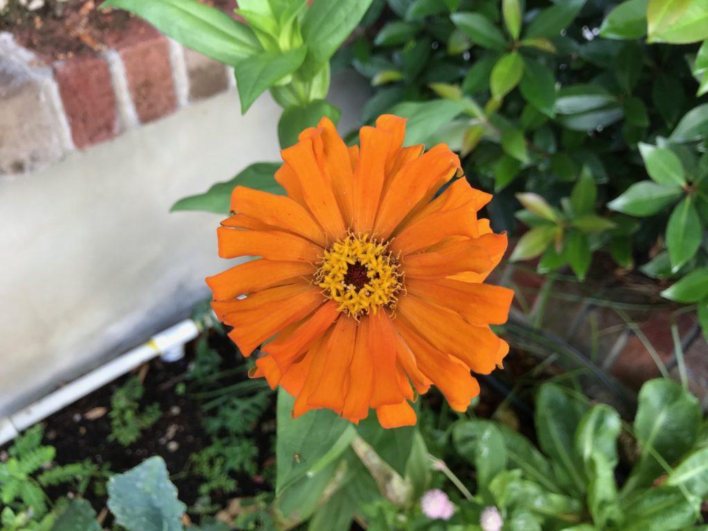 orange zinnia in the garden