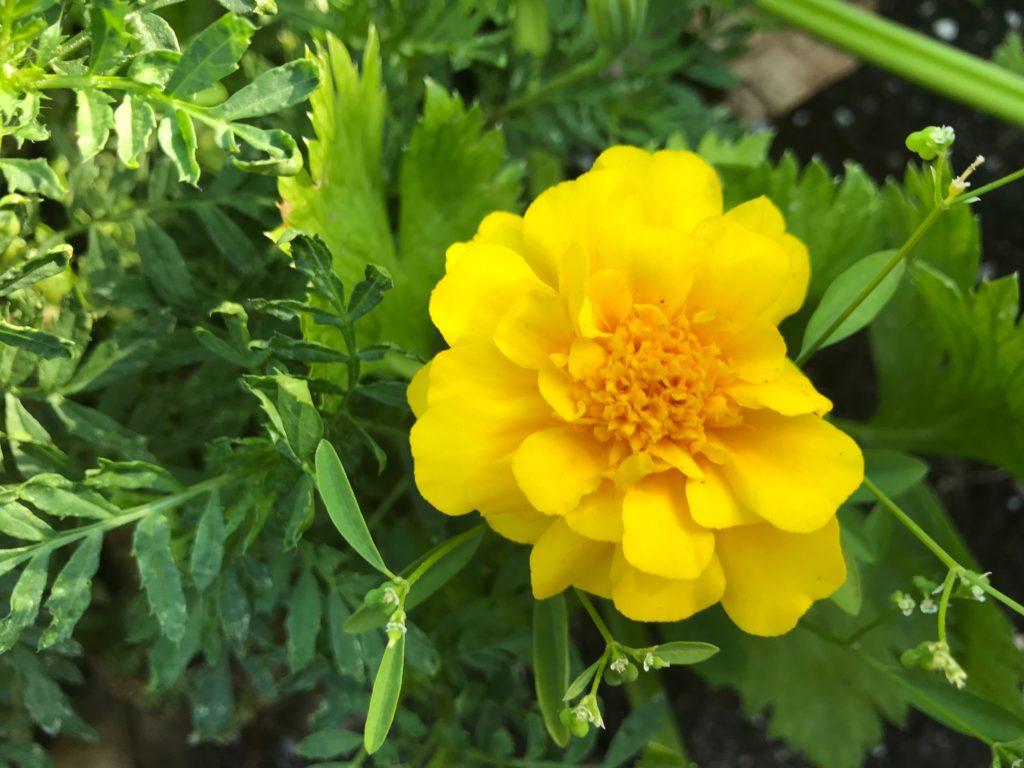 Single yellow marigold flower
