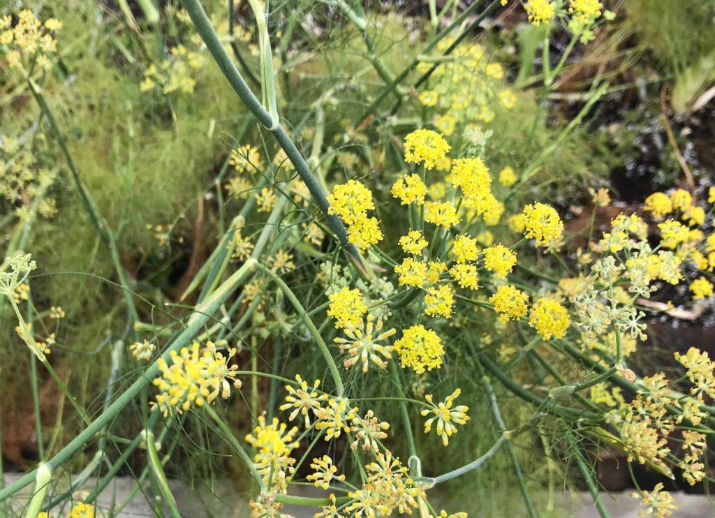 Fennel flowers in the garden