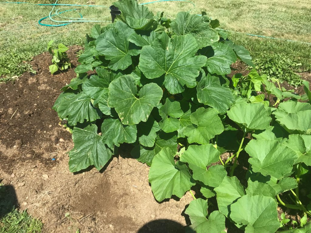 Large compost pile with squash plant