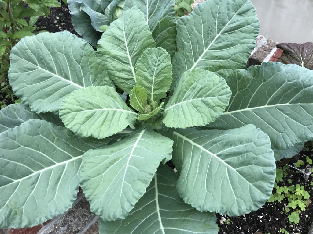 Collard green plant fully grown