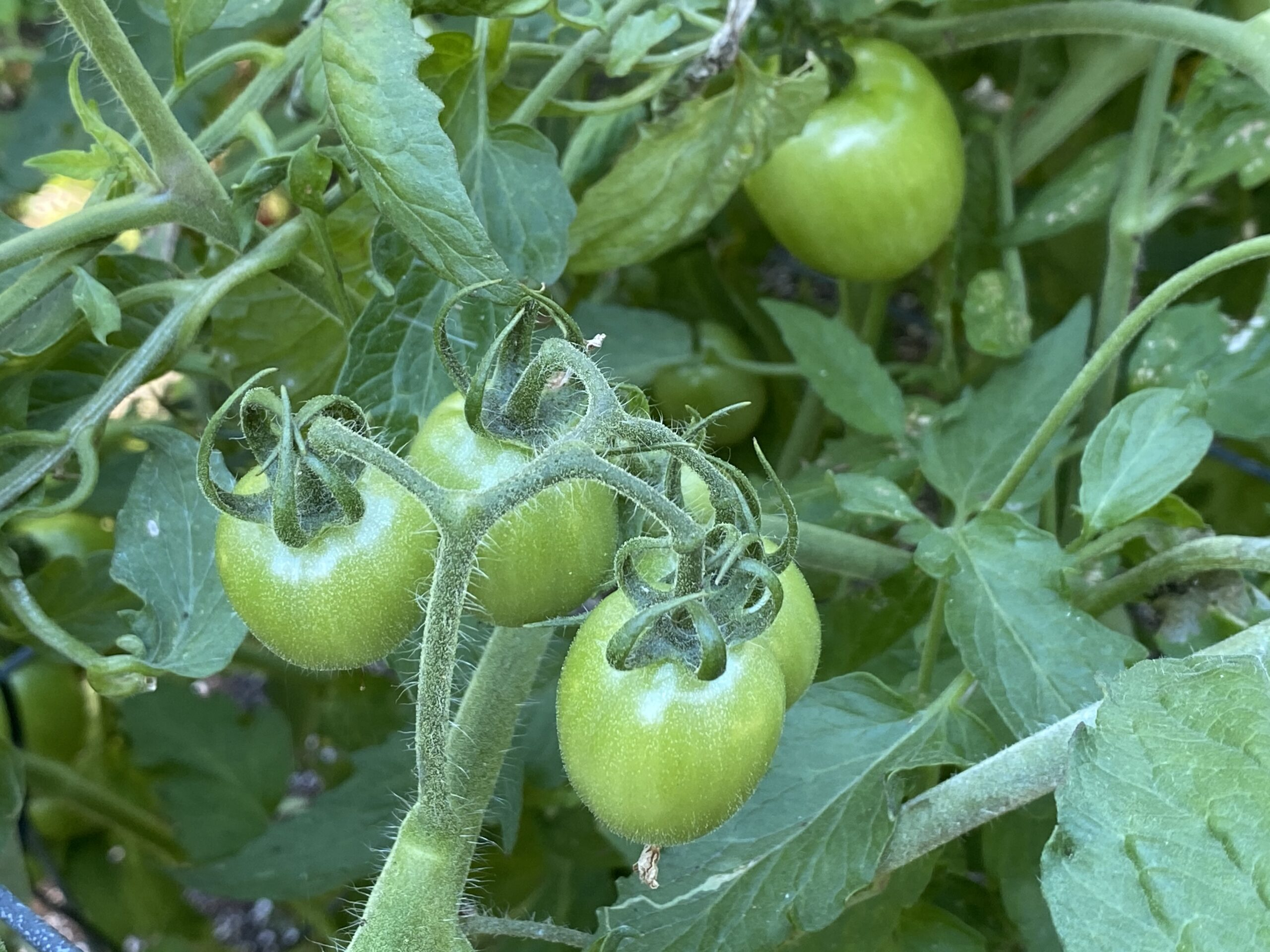 Young green garden gem tomatoes on vine