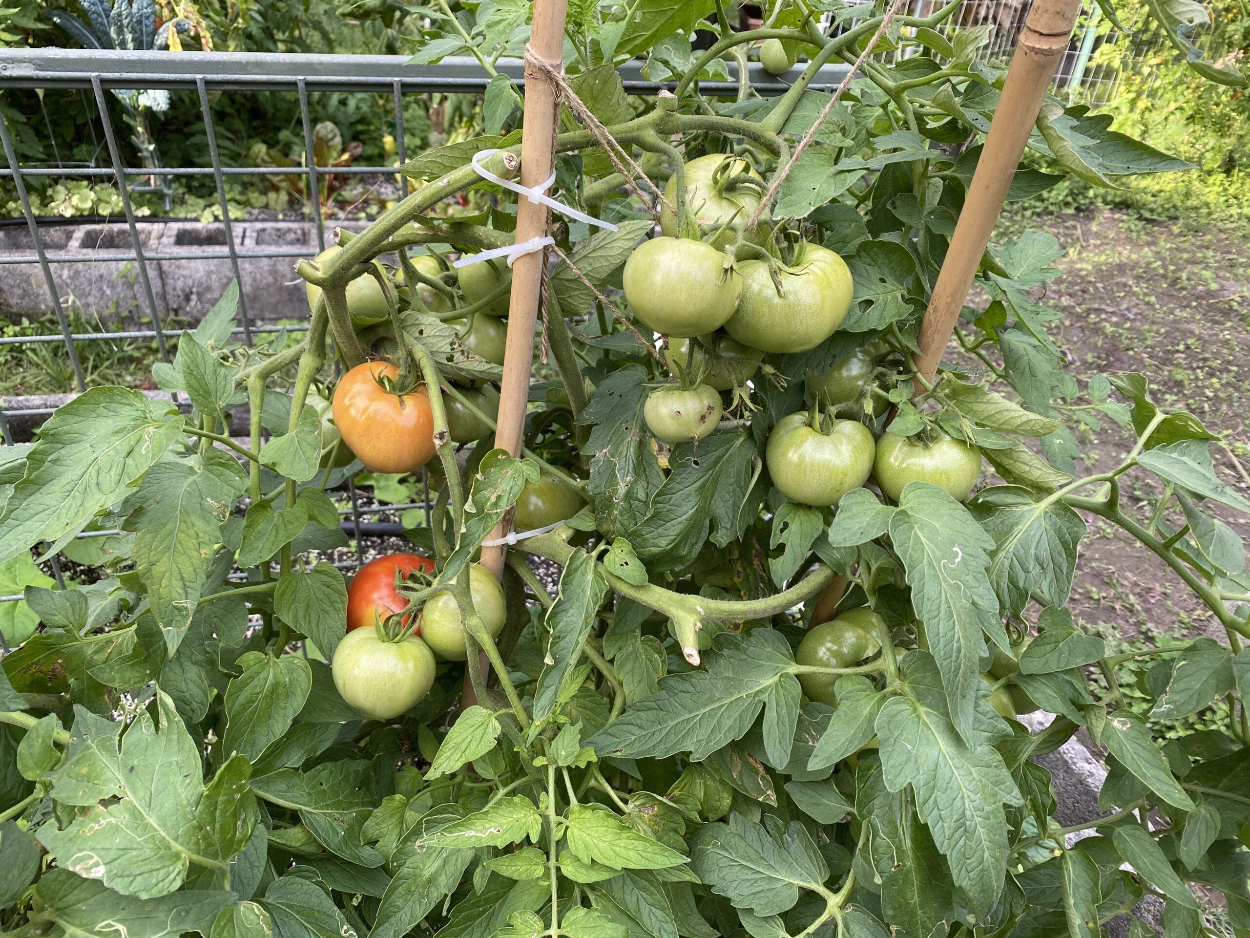 """Prolific """"W"""" tomato bush"""
