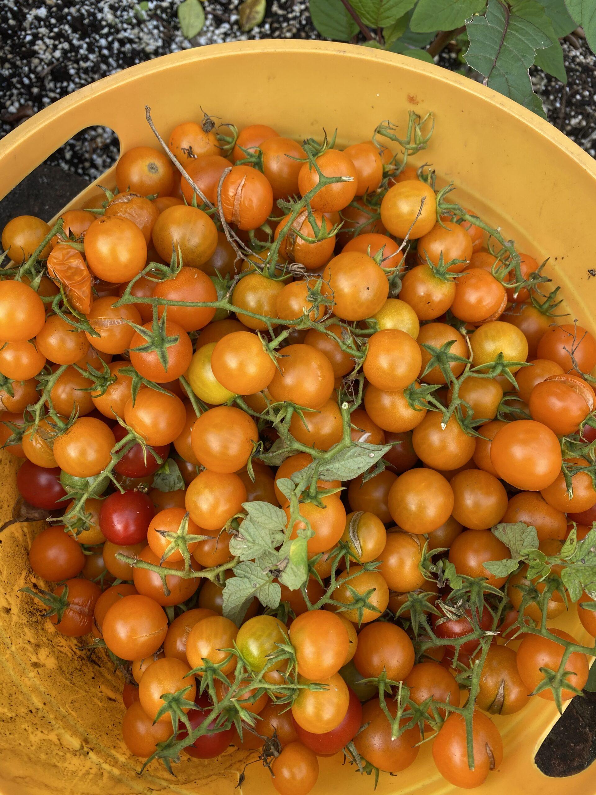 "Basket of golden ""Toronjina"" cherry tomatoes"