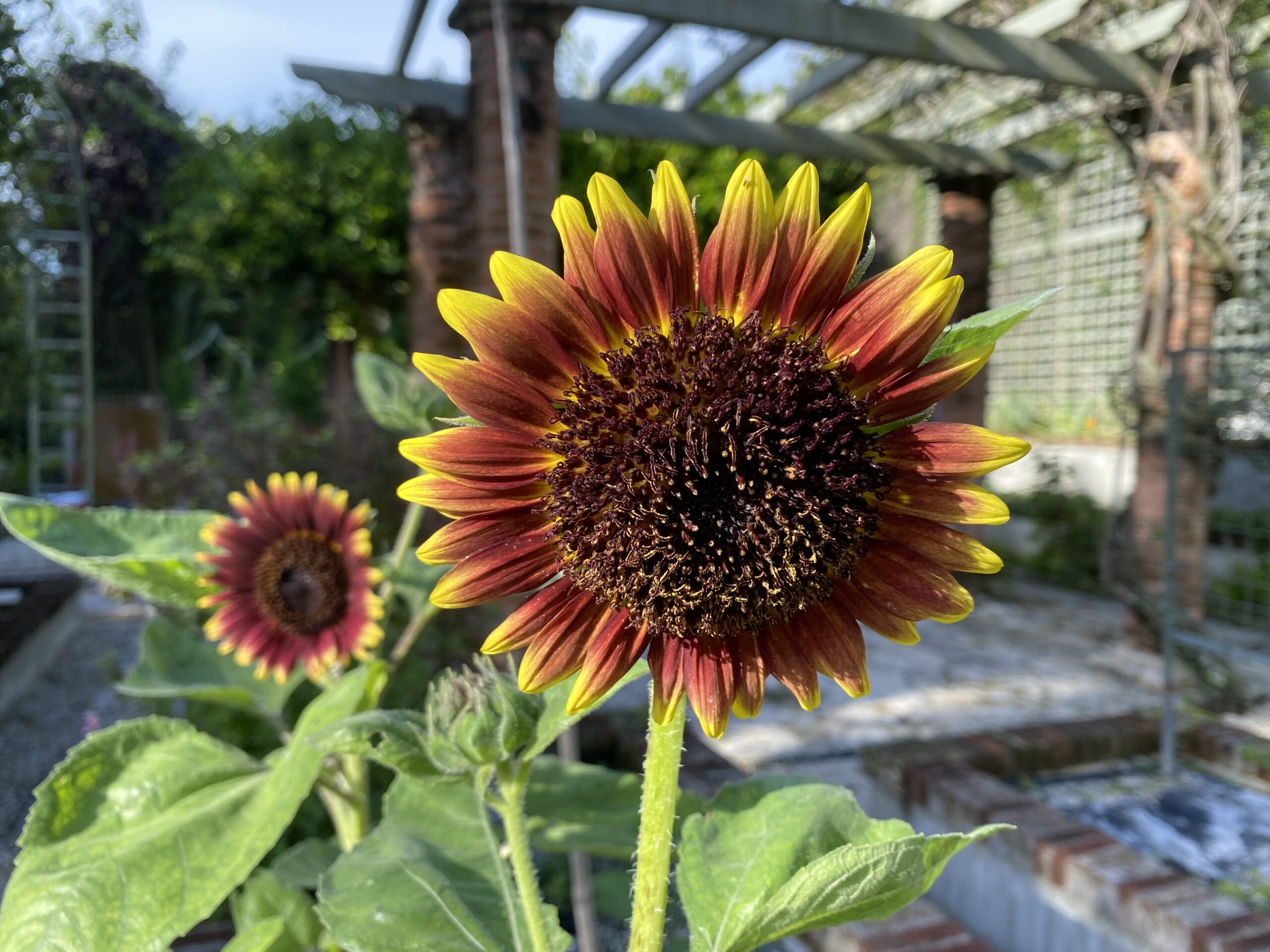 Two small purple and yellow sunflowers