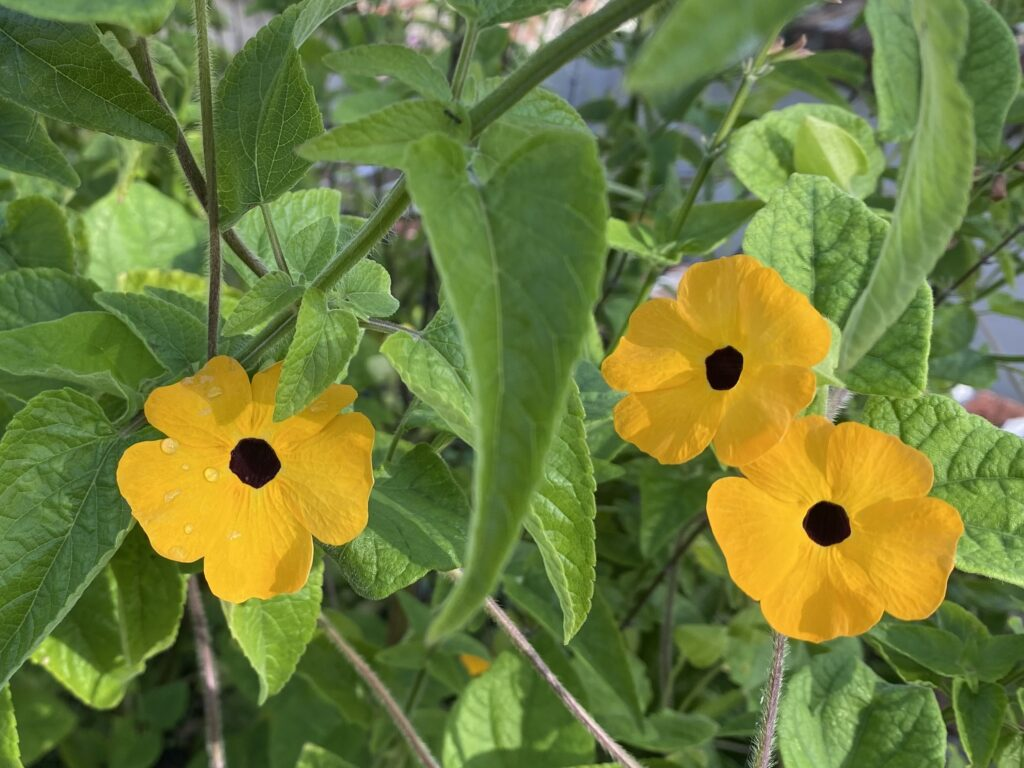 Three small yellow and black flowers on vine