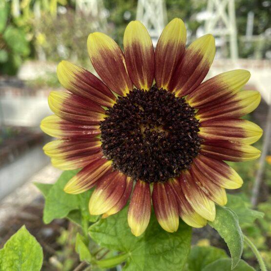 One bright purple and yellow sunflower