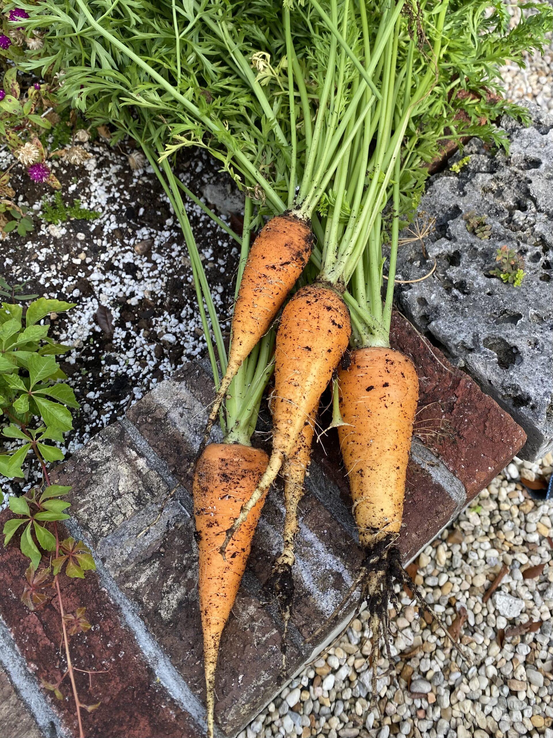 Bunch of orange stout carrots